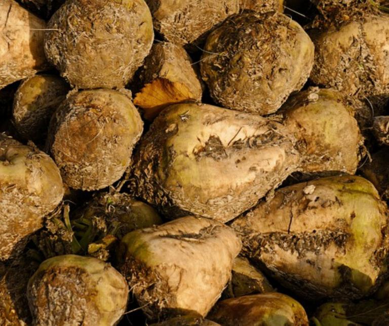 Harvested beet