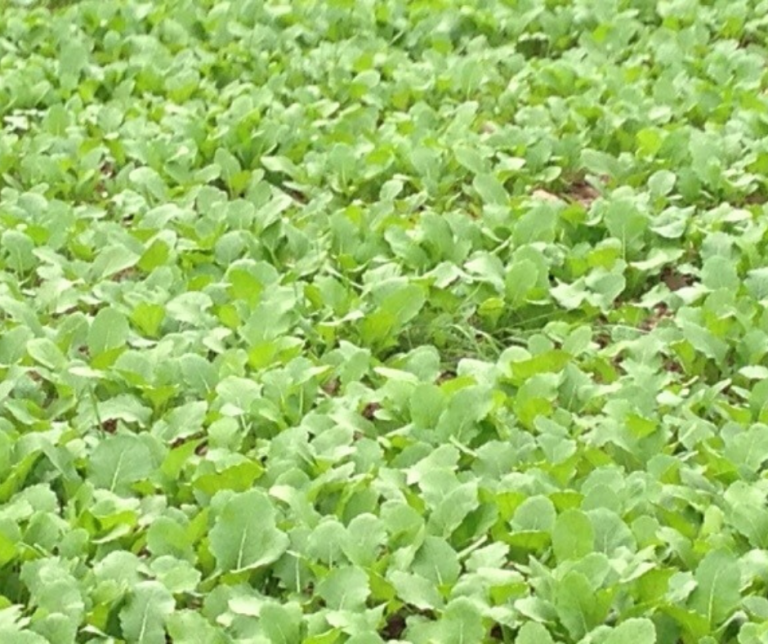 Field of stubble turnips