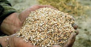 Handful of Maxammon grain
